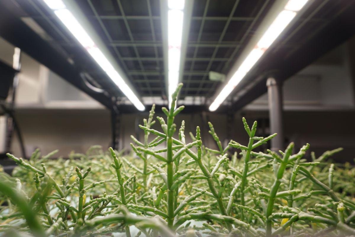 salicornia growing in a lab