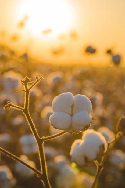 cotton on McIntosh farms