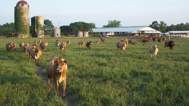 cows on local farm